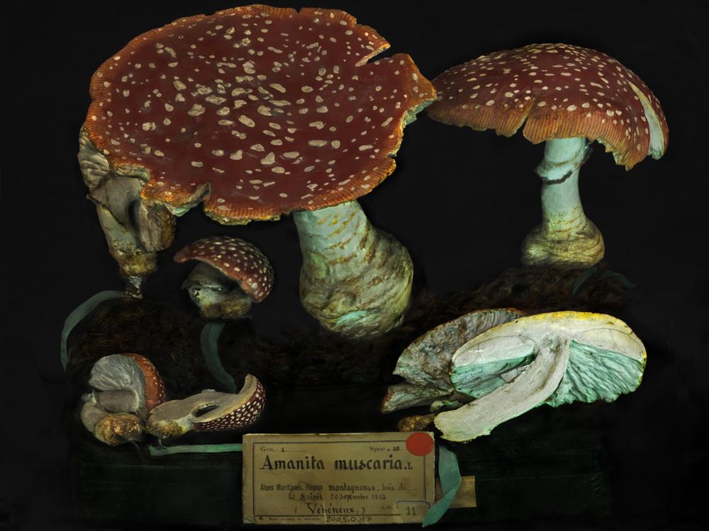 Amanita muscaria 2011
