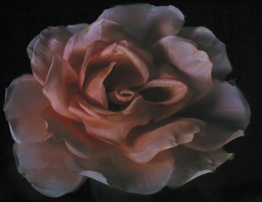 Amelia's Rose: Reprise 2011