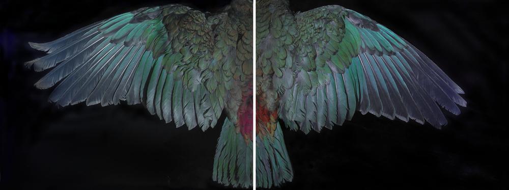 Davis Kea Wings (above) 2015