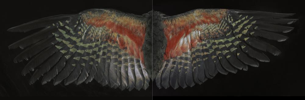 Fiona Pardington Davis Kea Wings (below) 2015