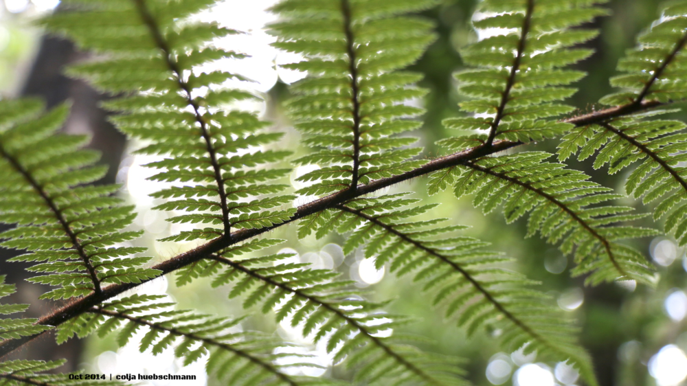 Fern, Waipou Forest