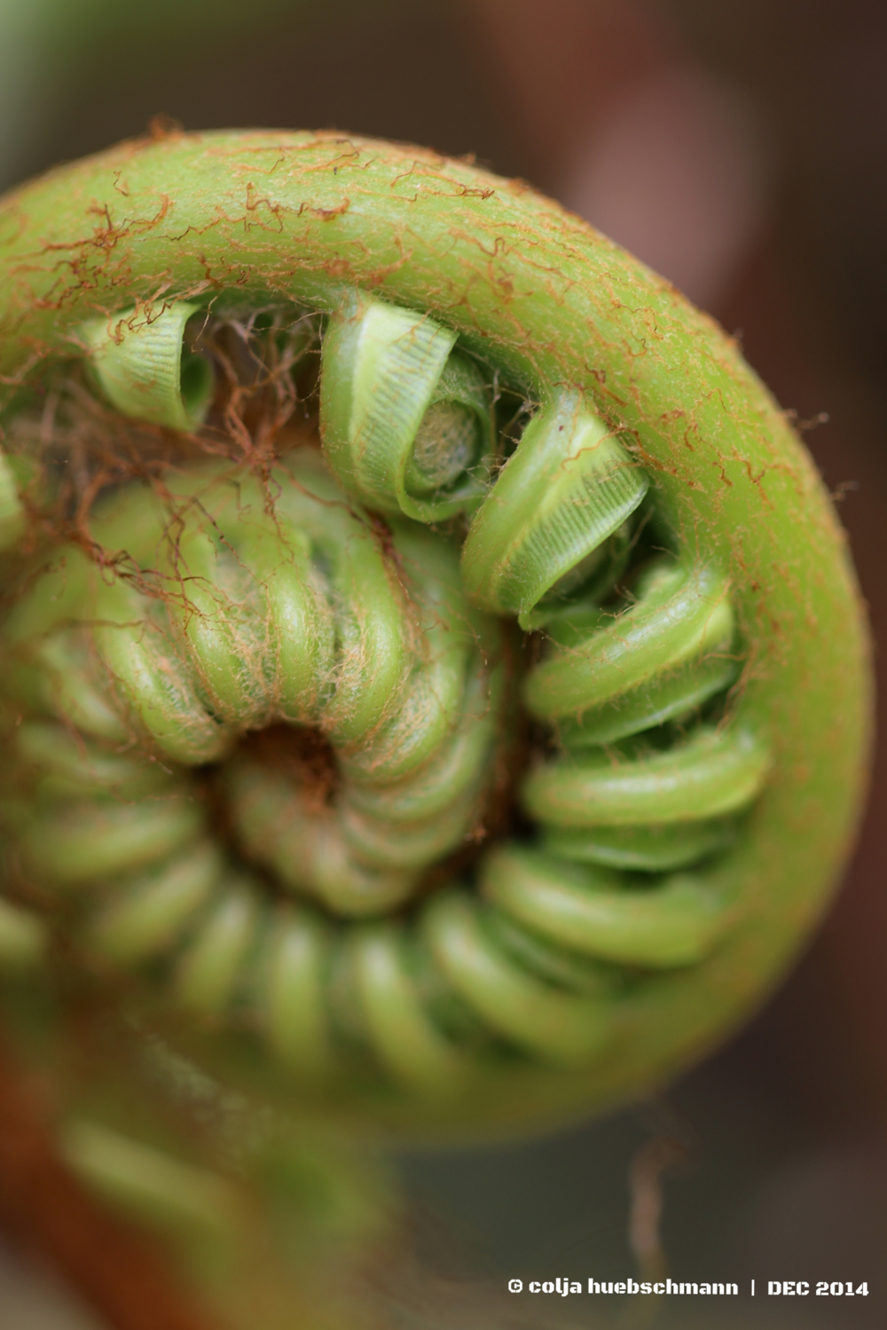 emerging fern leaf, Cross Island Walk, Rarotonga