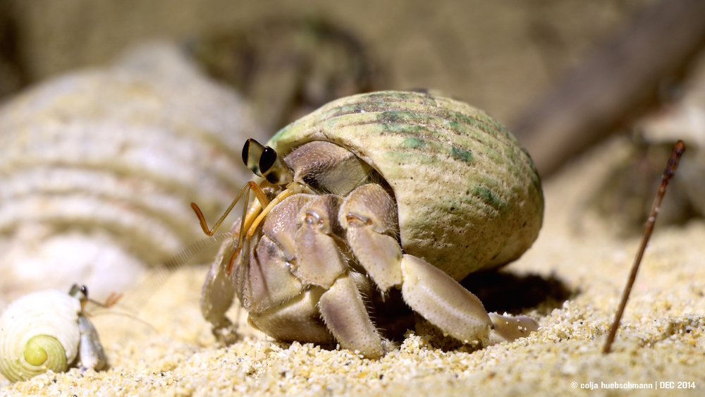 hermit crabs, Rarotonga