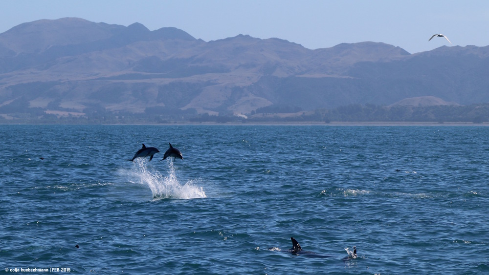 Whale (Dolphin) Watching in Kaikoura