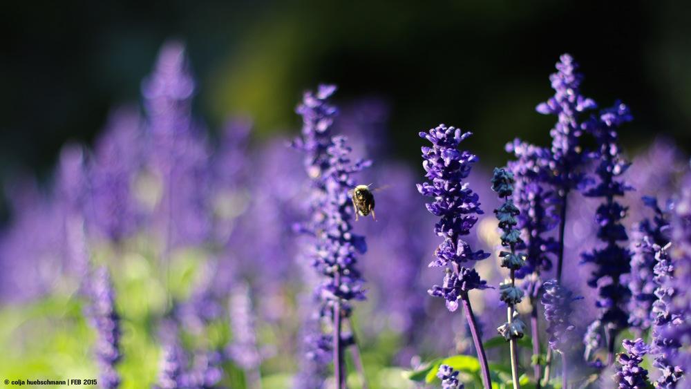Bummblebee, Botanic Garden Wellington