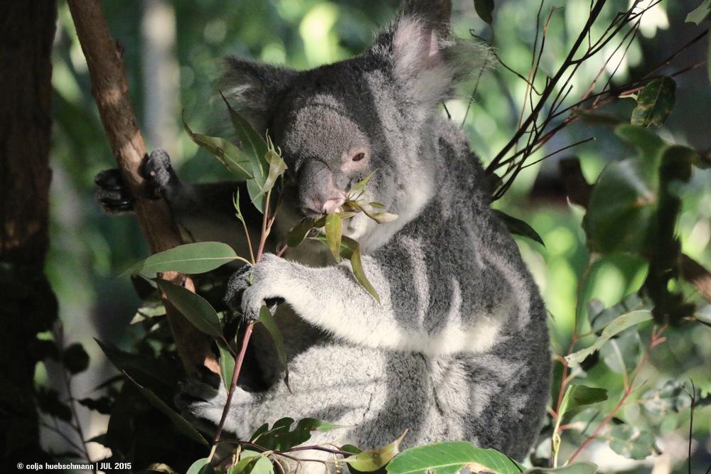 Koala, koala sunction, brisbane ,  AUSTRALIA