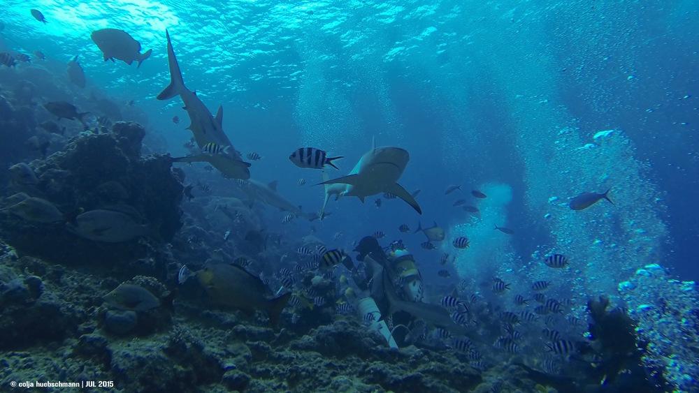 reef sharks, beqa lagoon, fiji