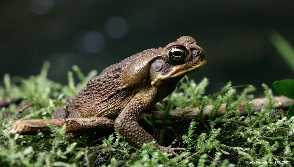 frog, ovalau island, fiji
