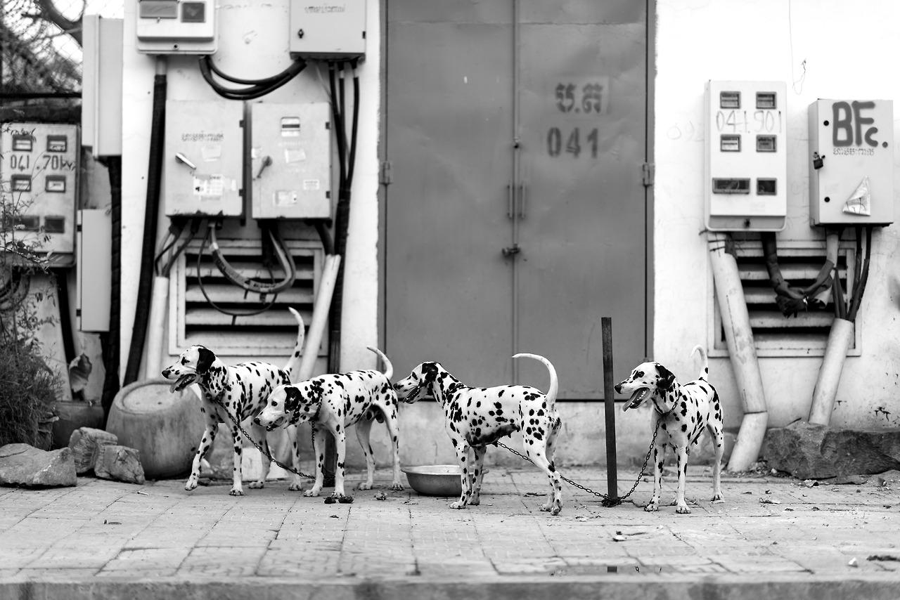 Dalmatians, Phnom Penh, Cambodia.