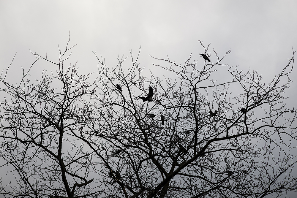 Murder of Crows, 102/366.