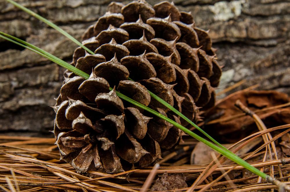 Project 365: #41 - Pine cone
