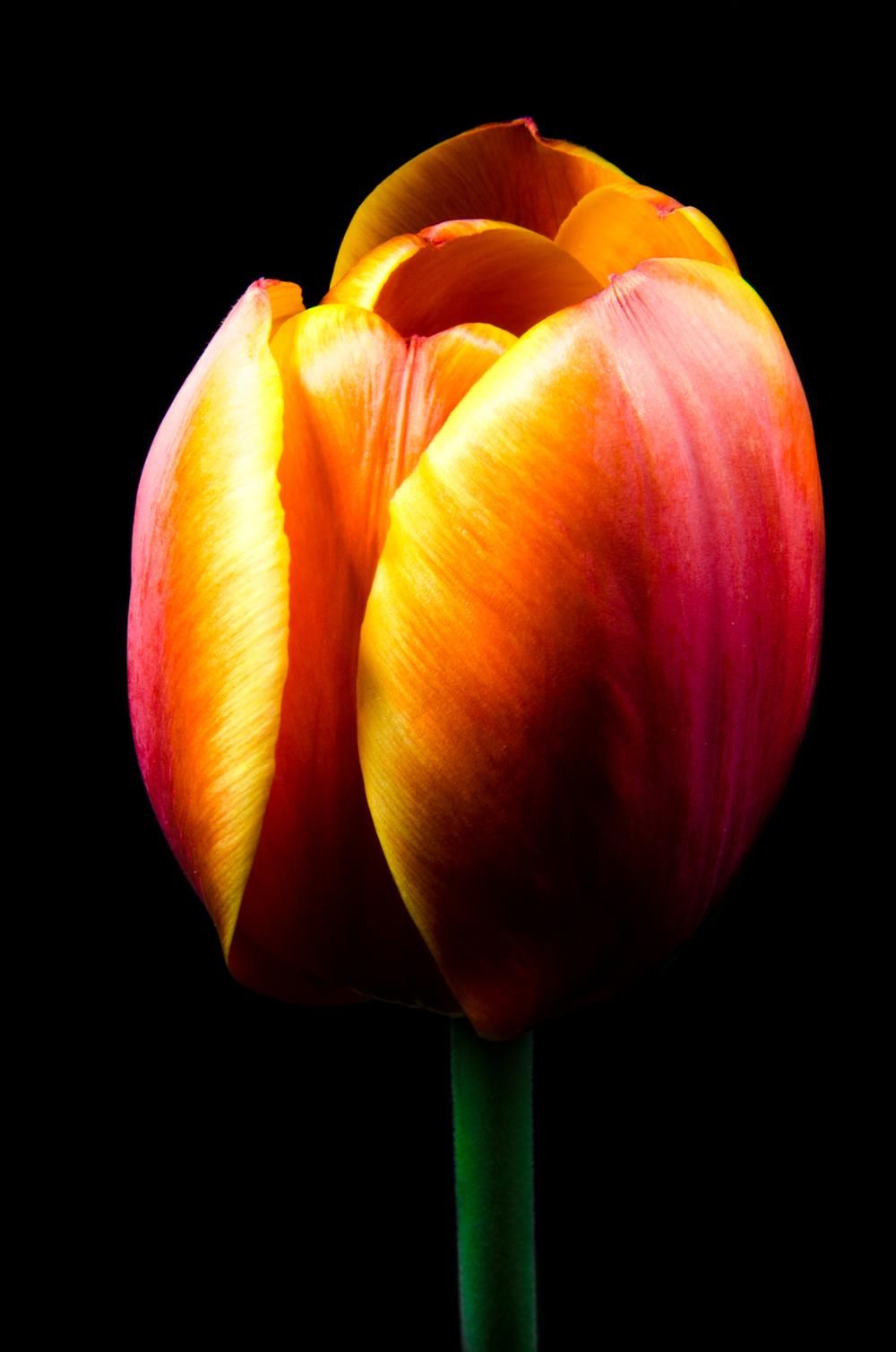 Project 365: #105 - Tulip