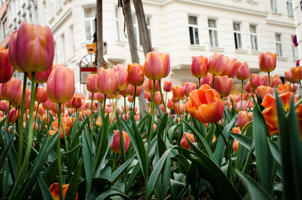 Project 365: #113 - More Tulips