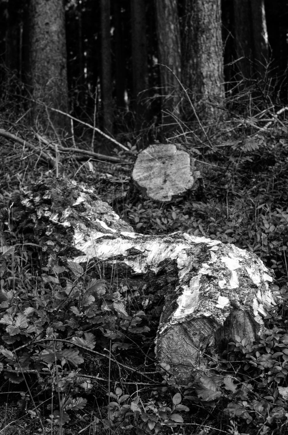 Project 365: #145 - Fallen tree