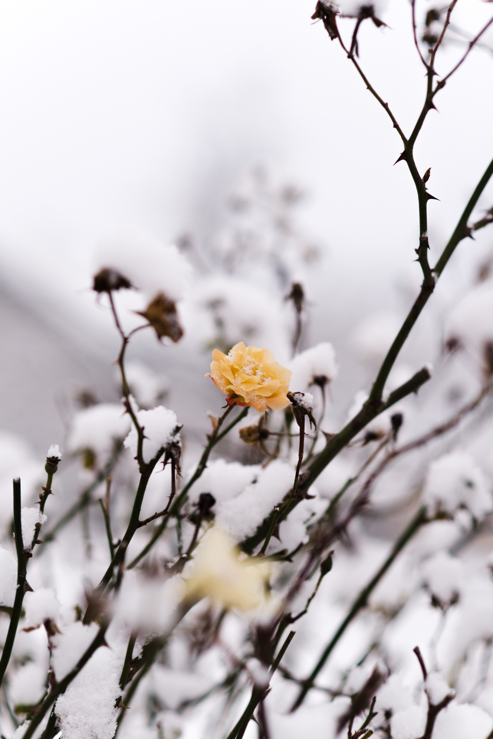 Project 365: #361 - Snow rose