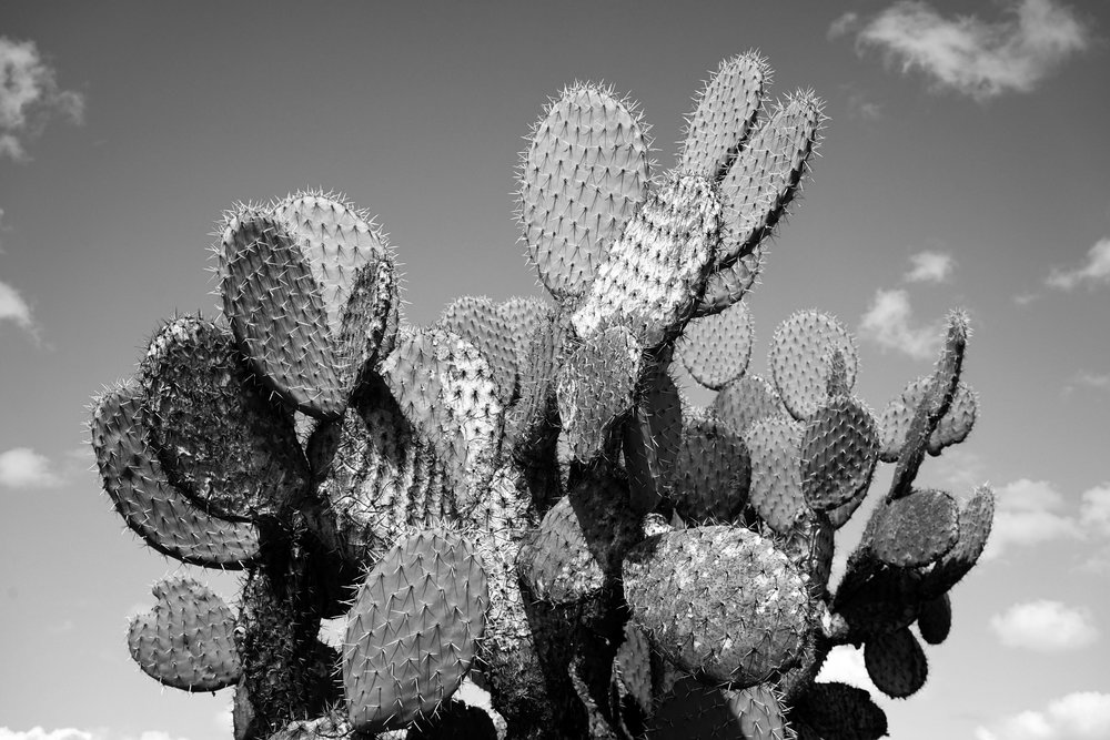 Portrait of a Cactus. San Miguel de Allende, Mexico. September 2016