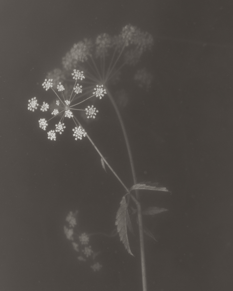 Cow Parsley 2015 platinum/palladium on paper