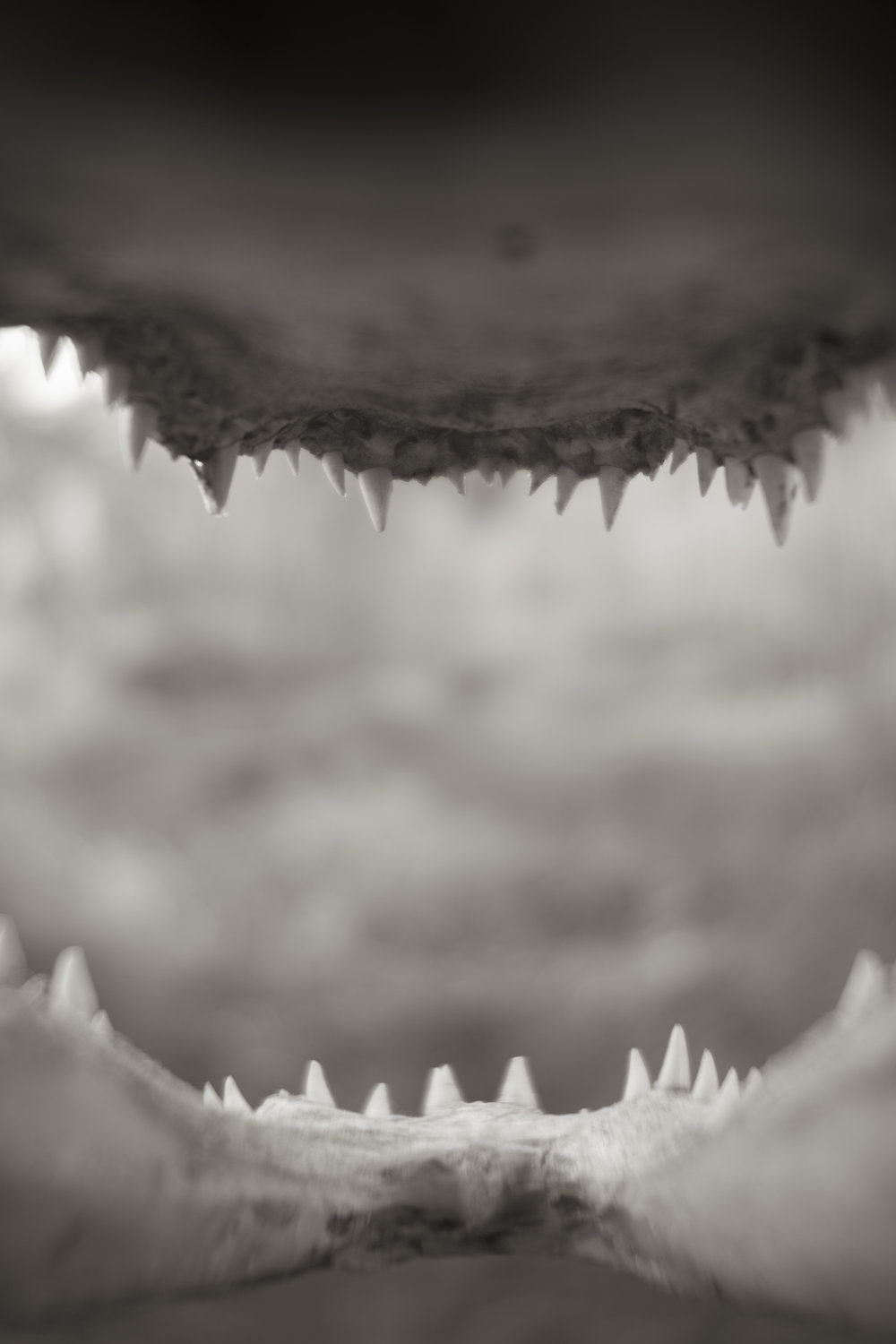 Alligator Teeth