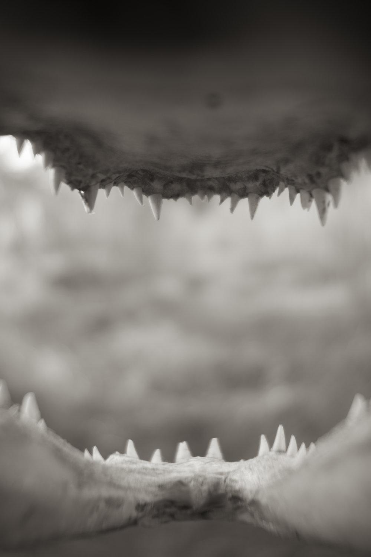 Alligator Teeth