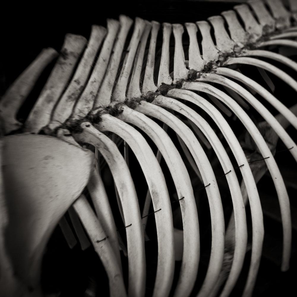 Horse Bones