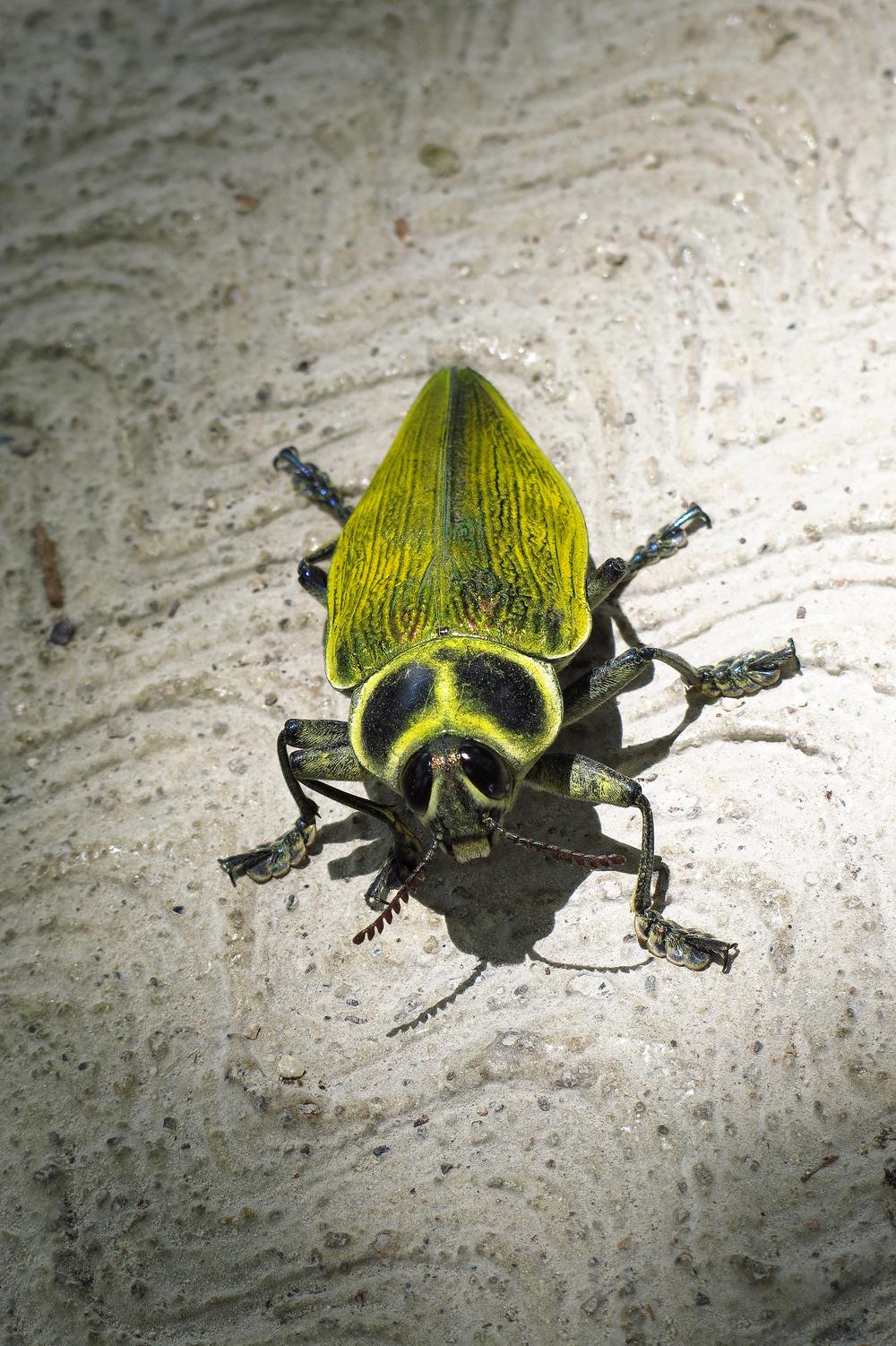 Tikal_yellow bug_IMG_9634.jpg