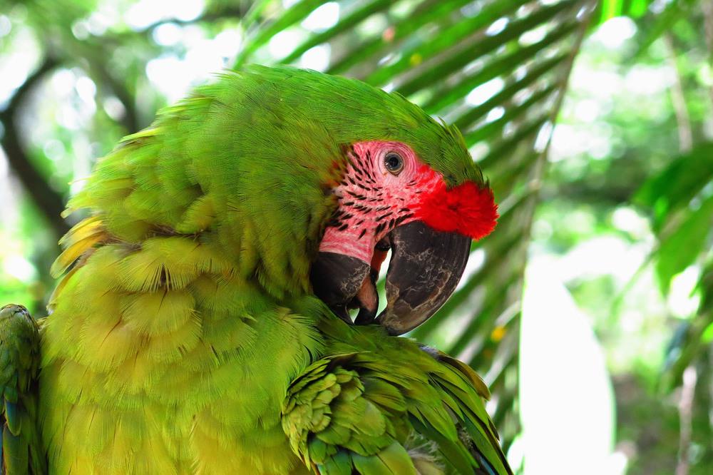 Honduras_mackaw green_IMG_1015.jpg