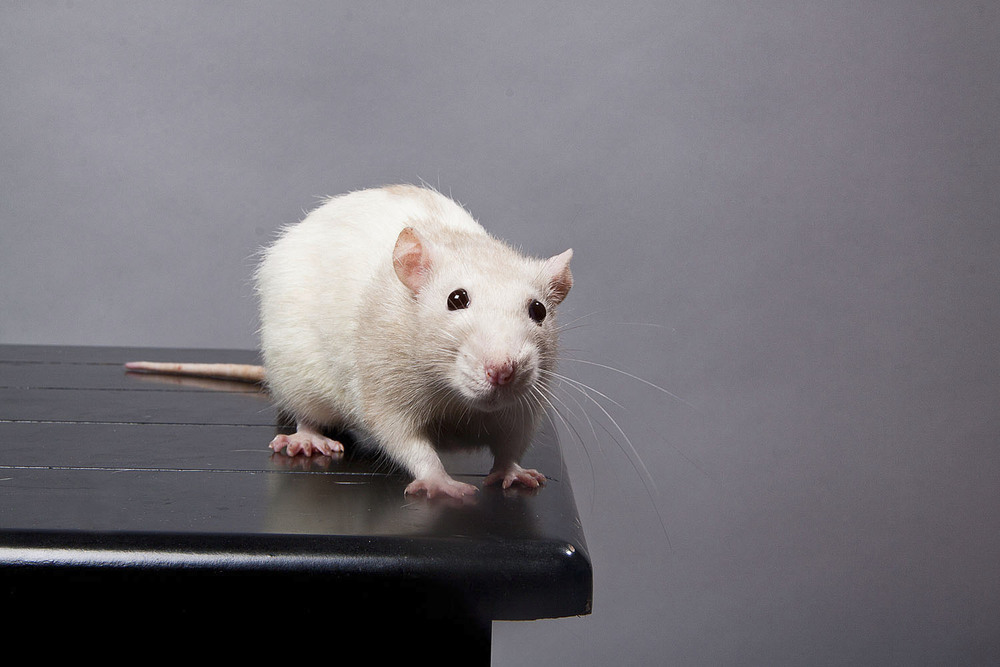 Mr Rat_V2.jpg