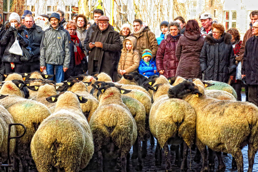 brugge sheep.jpg