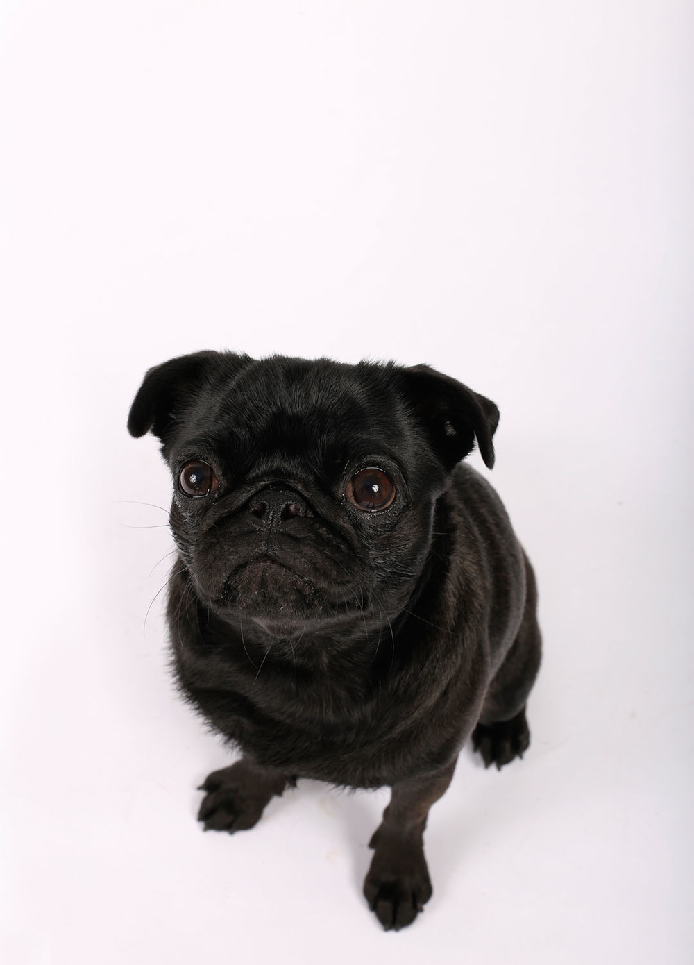 Black pug sitting portrait_expanded_IMG_0734.jpg