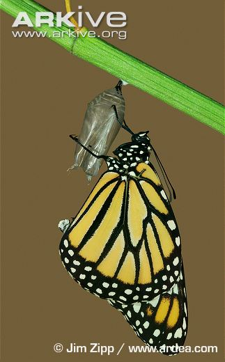 Monarch-butterfly-allowing-wings-to-dry-following-emergence.jpg