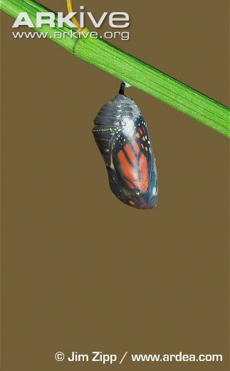 Monarch-butterfly-larva-pupa-prior-to-emergence.jpg