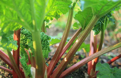 rhubarb-growing-l_a2.jpeg