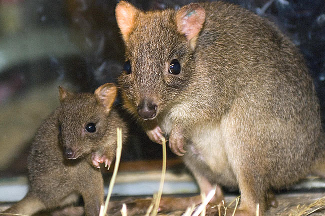 """Brush Tailed Bettong - I like to hop, but I'm no kangaroo.I like to eat mushrooms, seeds, & bugs, too.I am nocturnal—""""shhhh!"""" during the day!My young are small & in my pouch they lay."""