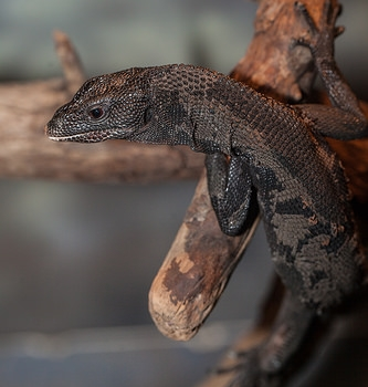 Black Tree Monitor - My coloring is black and dark.You'll often see me hugging tree bark.I have a long tail that wraps around.I like to keep safe high off the ground.