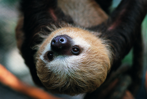 Hoffmann's Two-Toed Sloth - I like to live my life hanging out in the trees.I move soooo sloooow—no running, please!My name says I have two giant toes.Scan my home to see me striking a pose.