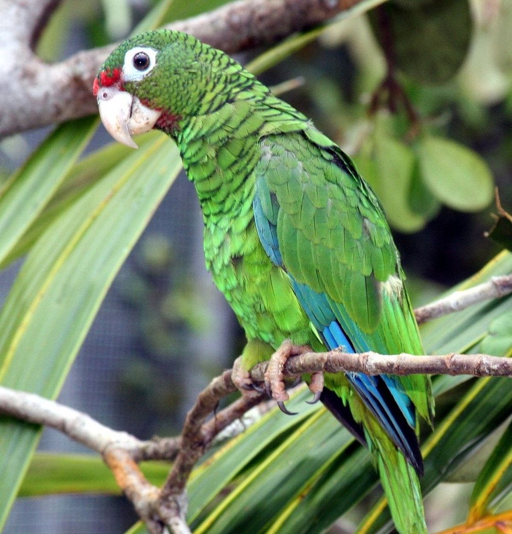Puerto Rican Parrot - When it comes to conservation, we're a success!Pardon our peanuts—we sure can make a mess.We traveled here from Puerto Rico, an island south.Look for the red feathers right above our mouth.