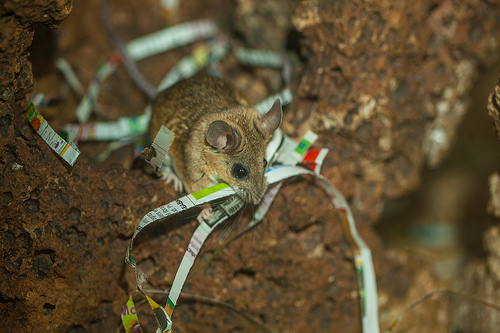Cactus Mouse - I'm tiny but quick - watch me go!I scurry around to and fro.At night I search for bugs and seeds,A burrow below is what every mouse needs!