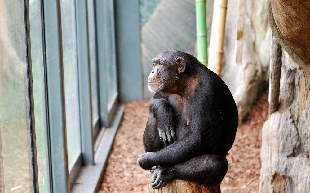 chimp cashew.jpg