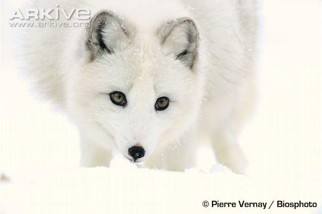 arctic-fox-portrait-winter-coat.jpg