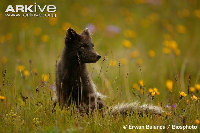 Arctic-fox-in-summer-coat-in-meadow.jpg