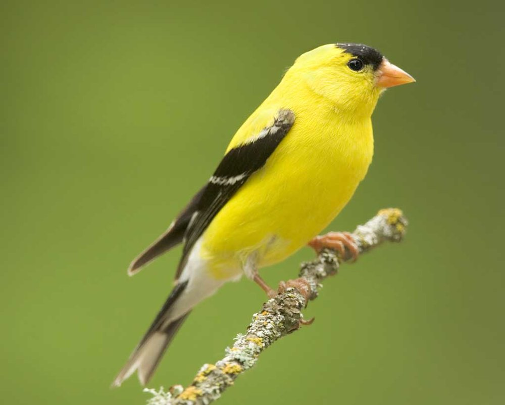 American Goldfinch - The male American Goldfinch is known for its bright yellow feathers. Look for yellow during April to September, when males are looking for a mate. Listen for a sharp