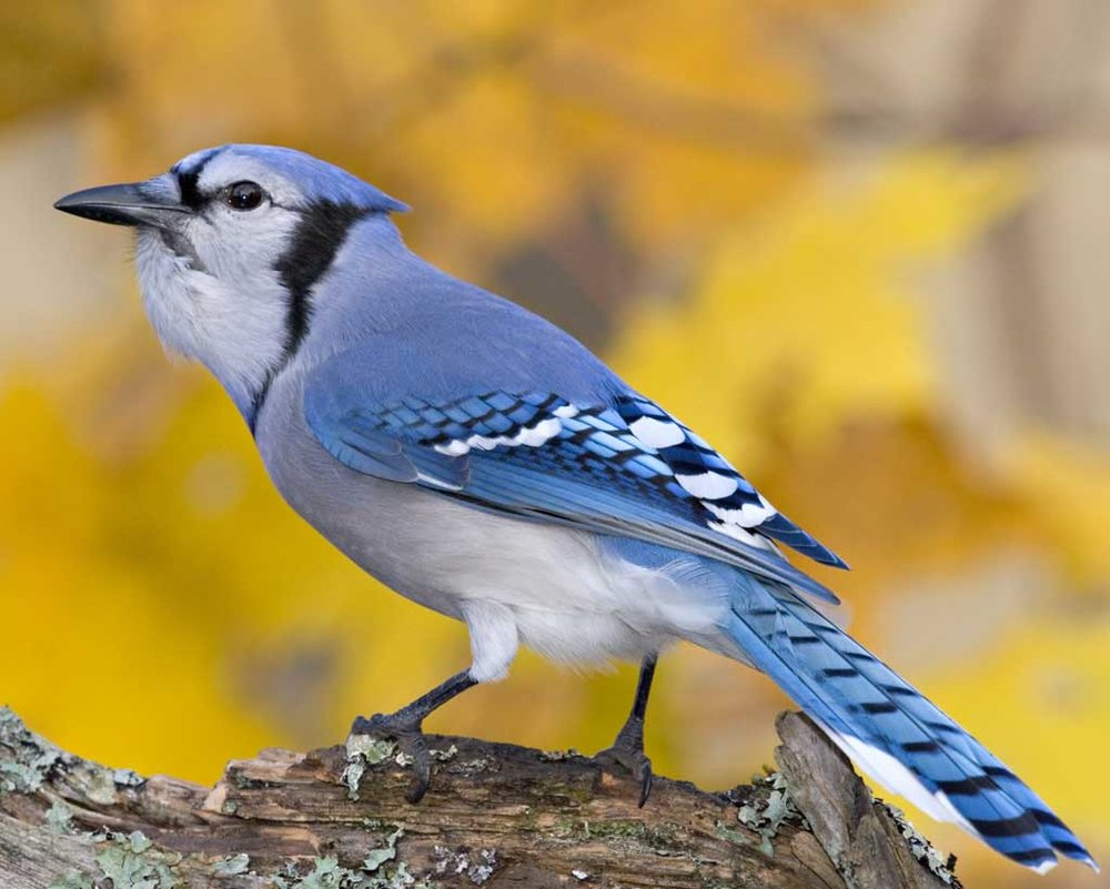 Blue Jay - The Blue Jay is one of the loudest and most colorful birds you'll spot! Listen for a