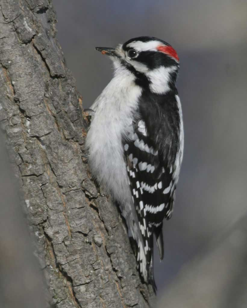 Downy Woodpecker - The Downy Woodpecker is the smallest woodpecker in North America. Males and females have black and white feathers, but only males have a red tuft on their head. Listen for the sound of their bills drilling into tree bark!