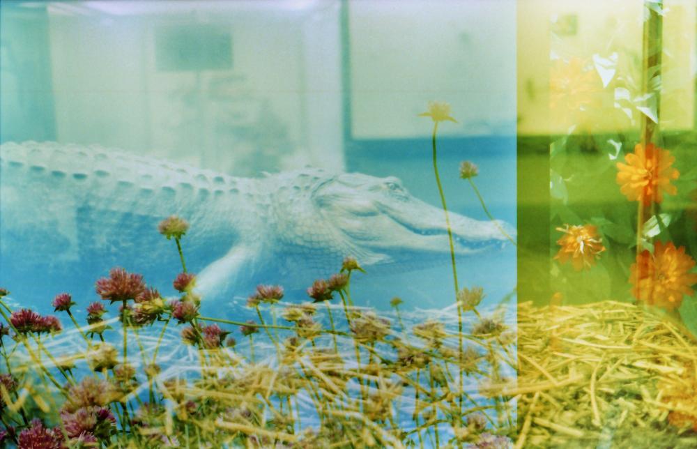 green_aligator01.jpg