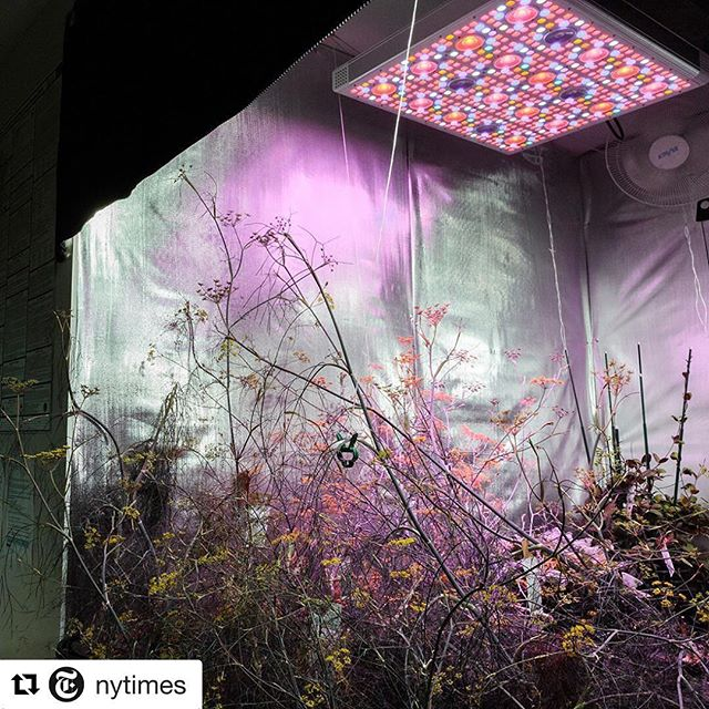 "Real interesting assignment for the @nytimes ・・・ Does food grown in a basement appeal to you? If you've eaten at some of New York's top restaurants recently, you've probably tried it. In TriBeCa, a #hydroponic facility called @farm.one is growing rare herbs and edible flowers underground — and many prominent chefs are flocking to it. There's no fresh air or natural light, but the 2-room venue can grow around 580 varieties of rare herbs and flowers. @leturtlenyc, @lecoucou_nyc, The Pool and @missionchinesefood get regular deliveries from @farm.one, sometimes several times a week. ""All we need is a floor drain, water, power, temperature control, and the ability to seal the space so bugs don't get in,"" said Robert Laing, the farm's chief executive and founder. The farm does deliberately bring in a few types of insects that are beneficial for plants, like ladybugs. ""You can buy them on Amazon,"" Robert said. @sarahblesener photographed the harvest room at #FarmOne. Visit the link in our profile see more scenes from inside this #undergroundfarm. #🌱 #🌿"