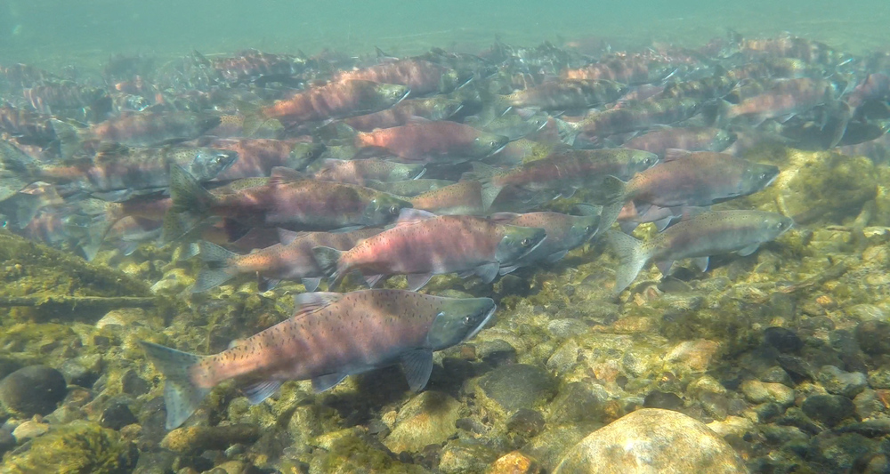 A school of spawning kokanee, a landlocked sockeye salmon