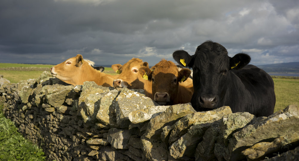 cows_color_Ireland04.JPG
