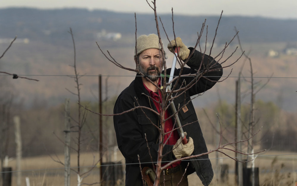 Pruning Kingston Black in our home orchard is always one of the most reflective and comical of pruning days.