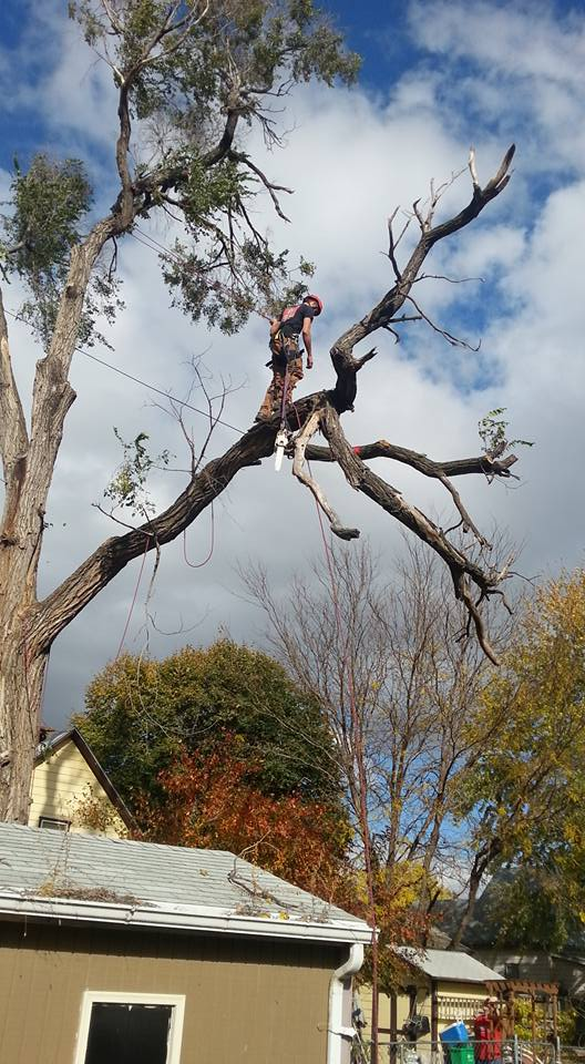 Lincoln nebraska tree service Elm 9.jpg