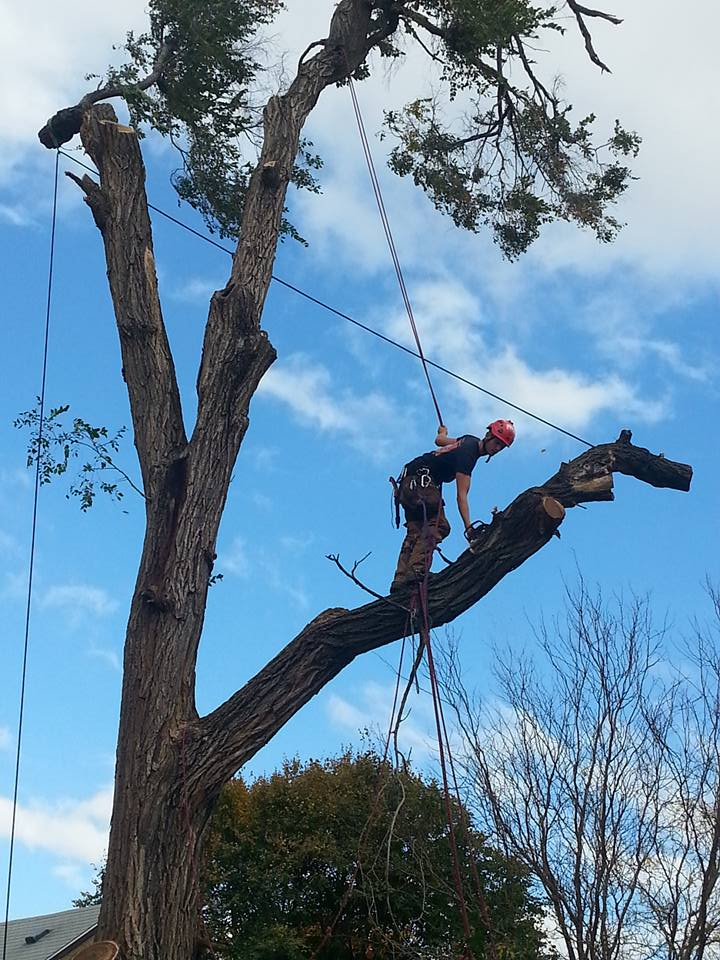 Lincoln nebraska tree service Elm 8.jpg